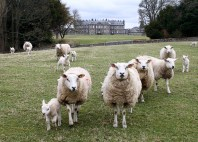 Some of our sheep reared near Hopetoun House