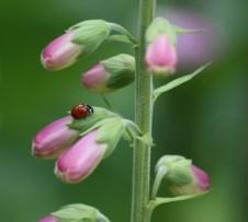 Ladybird on Foxglove