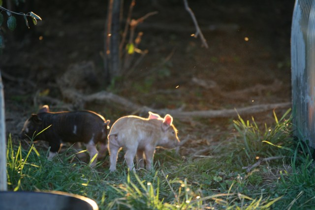 pigs sept 2015 195