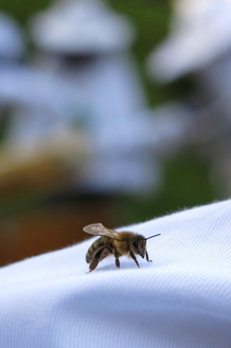 Una de las 150.000 abejas de Girard Perregaux