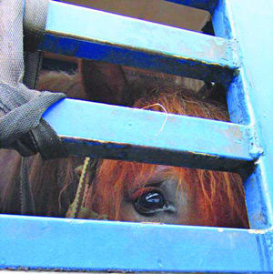 The European Commission has agreed on the need to review EU legislation on long-distance transport of animals to slaughter.