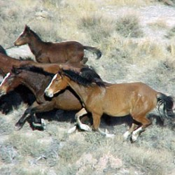 Oregon muster targets 1500 wild horses