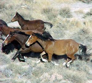 Wild horses in Nevada