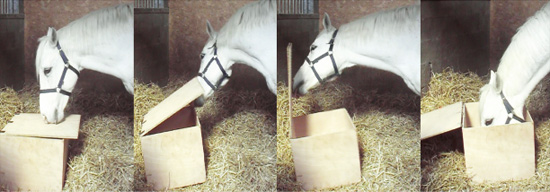 Example of behaviours in the chest test: Sniffing the lid; Lifting the lid; Opening the chest; and Eating food.