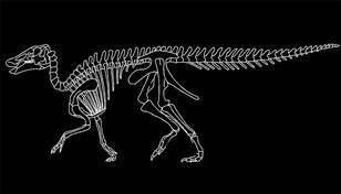 Hadrosaurid (duck-billed dinosaur) skeleton of Edmontosaurus.