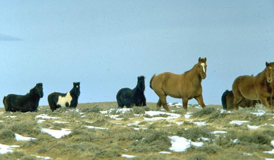 Wild horses in Wyoming.