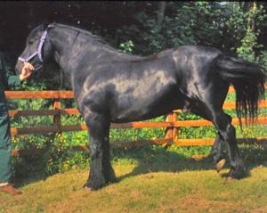 A laminitic pony.