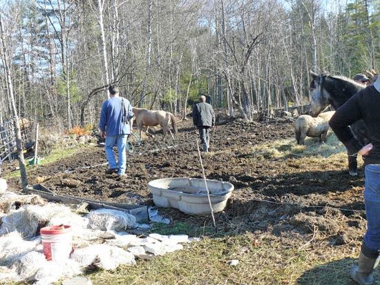 Volunteers help catch the horses.
