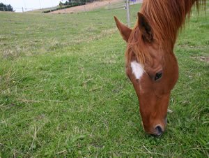 Horses are more prone to staggers than ruminant animals such as cattle.