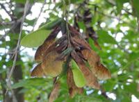 Box elder seeds before fall.