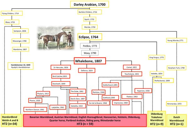 """Pedigree of Darley Arabian's progeny depicting the origin of HT3 from HT2. Breeds of analysed males are listed on the bottom and the haplotypes of their ancestors are reconstructed (HT2-yellow, HT3-red, unknown-grey). Selected famous stallions are shown by name; dotted lines connect relatives where at least one ancestor is omitted. No descendants from """"Pot8os"""" and """"Waxy"""" were available apart from """"Whalebone, 1807"""". The mutation leading to HT3 must have occurred either in the germline of stallion """"Eclipse"""" [54] or in his son """"Pot8os"""" or in his grandson """"Waxy"""" and rose to very high frequency in the English Thoroughbred and many sport horse breeds through the progeny of the stallion """"Whalebone""""."""