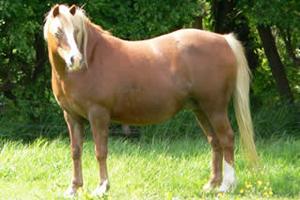 A survey has revealed worrying levels of obesity among British horses.