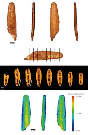 A virtual reconstruction (top) of the most complete lissoir, sections through the bone (middle), and the thickness of the bone color coded (bottom) showing thinning at the tip. (Image courtesy of Abri Peyrony & Pech-de-l'Azé I Projects).