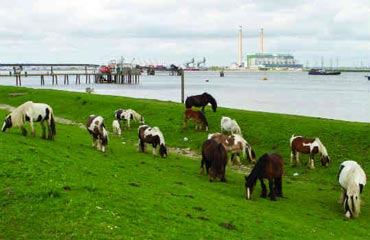 Horse left to graze along the coast at Gravesend.