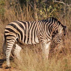 The number is up: Maths provides part of the answer on zebra stripes