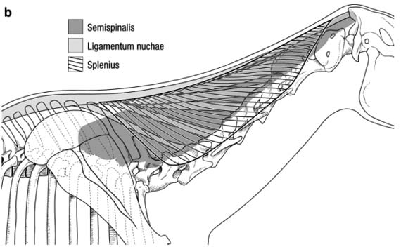 : Splenius muscle overlay: note simple fiber architecture, more ventral and lateral vertebral attachments, and relationship to nuchal ligament and semispinalis muscle. Cranial and caudal attachments are by aponeurosis to lateral occipital crest and dorsal midline fascia respectively.