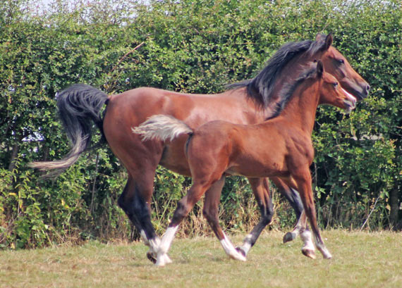 Foals can be habituated to potentially fearful objects by their mothers, research shows.