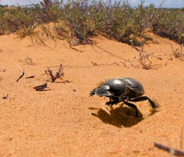 A dung beetle from the Western Cape at full gallop.
