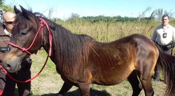 One of the horses rescued from a field in Miami-Dade County. Photos: South Florida SPCA