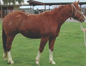 A stallion with hereditary equine regional dermal asthenia (HERDA).