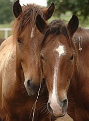 Horse slaughter fight not won yet – Pacelle