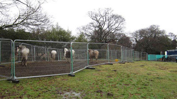 OK in the corral: Some of the rescued horses await removal. Photo: British RSPCA