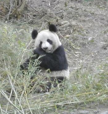 A panda feeds on bamboo.