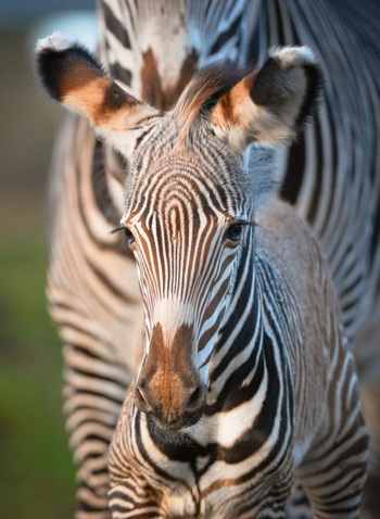 The new Grevy's zebra foal. The largest of all wild equine species, they can be distinguished from other zebras – plains and mountain – by their longer legs, more narrow stripes, white, stripeless underbellies and large rounded ears.