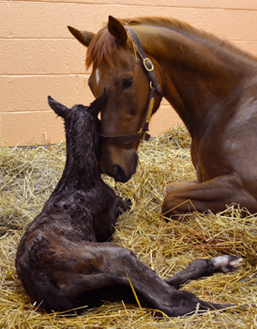 Special delivery: My Special Girl and her colt. Photo: New Bolton Center, University of Pennsylvania