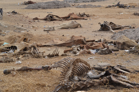 Gruesome toll: A horse graveyard on the outskirts of Cairo is testament to the forgotten victims of Egypt's unrest. Photos: SPANA