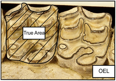 Examples of True Area and Occlusal Enamel Length (OEL) taken on a digital image of Pseudhipparion. True Area is a different measurement than length by width.