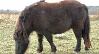 Fat horse: Many people do not realise that horses at the other end of the scale (BCS 8-9) are also in need of intervention to get them back on the path to health.