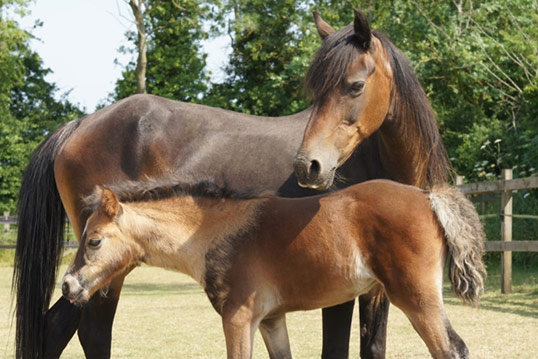 Mrs Tweedy andher foal Harlequin werepart of a major rescue wecarried out last year in Caerphilly.