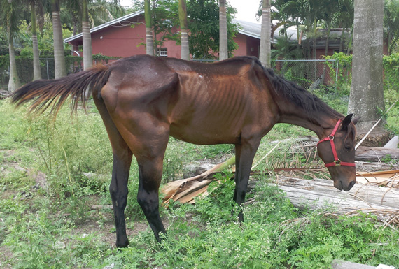 One of the seized horses. Photos: Florida SPCA