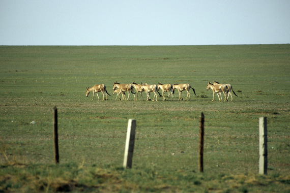 Mongolian wild ass are among the most mobile of terrestrial mammals, ranging over thousands of square kilometers each year.  They are photographed grazing alongside a railway fence at Khulan. Photo: Petra Kaczensky/Vetmeduni Vienna