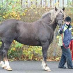 Ponies too fat in their genes? Britain's paddock potatoes exposed