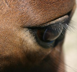 Positive morphine tests probably from contaminated feed – racing body