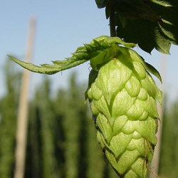 Could hops play a role in fighting laminitis?