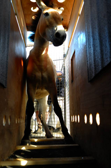One of the mares in her crate before her journey from Austria to Mongolia. Photo: Photo: Miroslav Bobek, Prague Zoo
