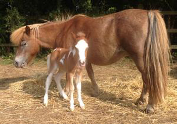 Cecil with his mother. Police say the 1-month-old foal was stolen overnight this week.