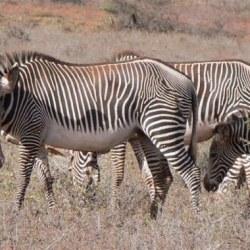 Seven Grevy's zebras killed during gunfight among herders