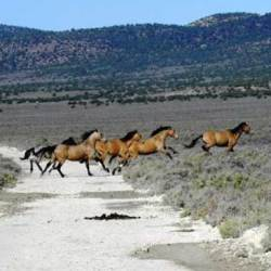 Emergency muster targets wild horses hit by worsening Nevada drought