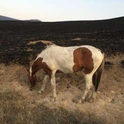 Feds complete wild horse muster following Idaho blaze
