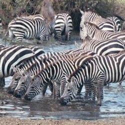Zebra stripes: No black and white answer to mystery