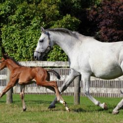 Advanced fertility techniques could aid endangered horse breeds