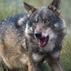 Iberian wolves changed diet to include wild ponies, say Spanish researchers