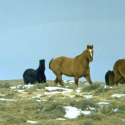 """Proposed massive wild horse muster in Wyoming called a """"budget buster"""""""