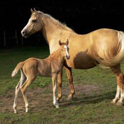 Horse entombed 2000 years ago was a palomino, genetic testing shows