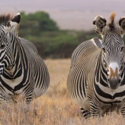 """""""Citizen scientists"""" called on to help count Grevy's zebras"""