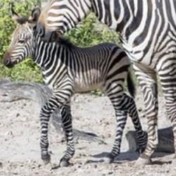 Second rare-breed zebra foal born at Florida zoo